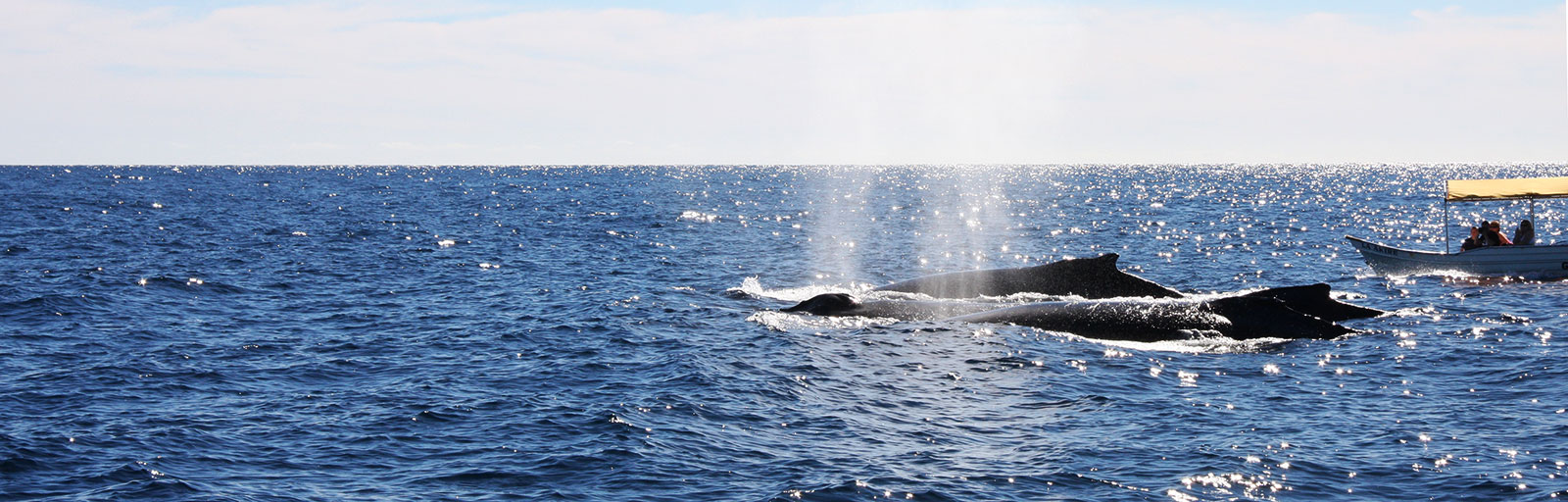 Whale Watching & Yoga Retreat in Mexico: a Pod of Whales in Cabo Bay