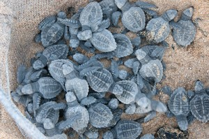 Baby Sea Turtles in Pen
