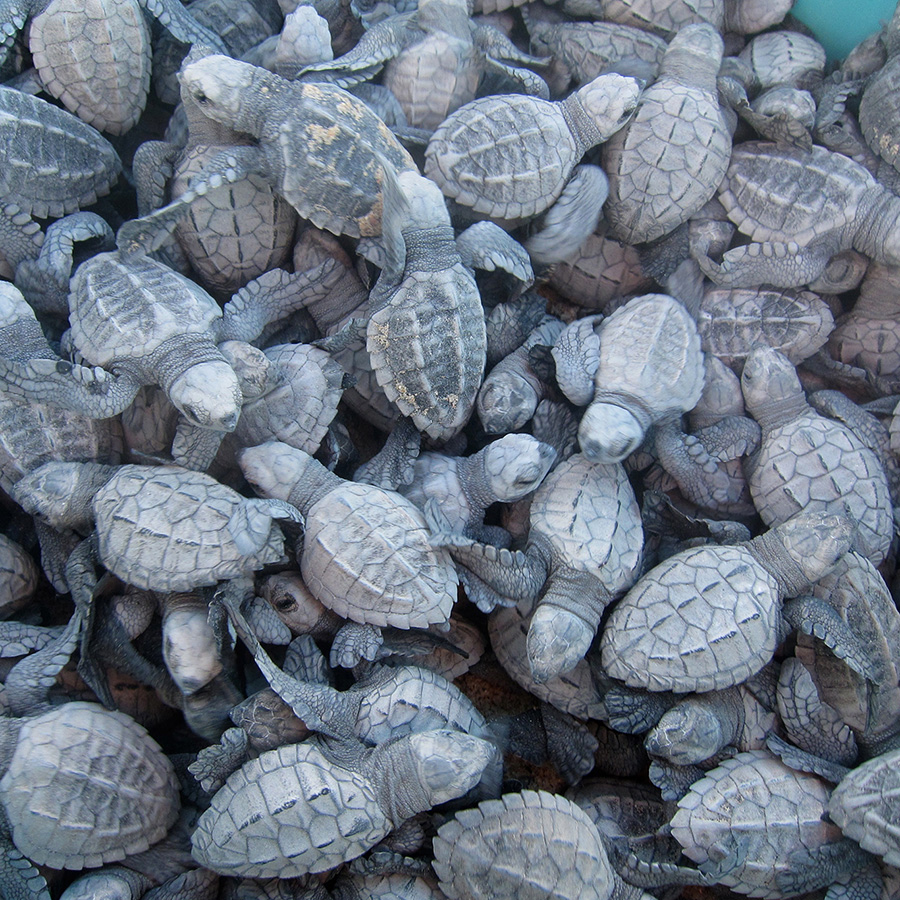 A Bucket of Baby Sea Turtles - Yoga Retreat - Mexico