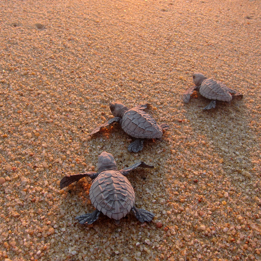 Baby Sea Turtles - Yoga Retreat - Mexico