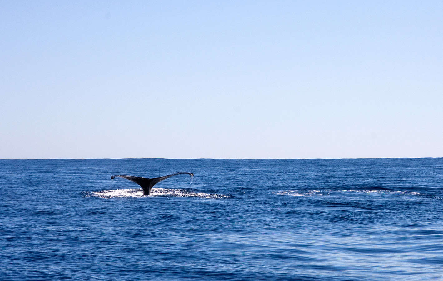 Fluke Splashing while Whale Watching - Yoga Retreat - Mexico