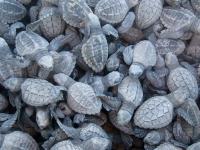 A Bucket of Baby Sea Turtles - Yoga Retreat - Mexico