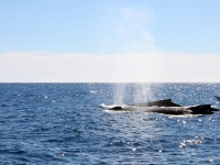 Pod of Whales on a Whale Watching Trip - Yoga Retreat - Mexico