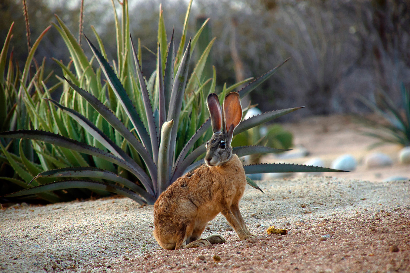 Long-eared Jackrabbit - Yoga Retreat - Mexico