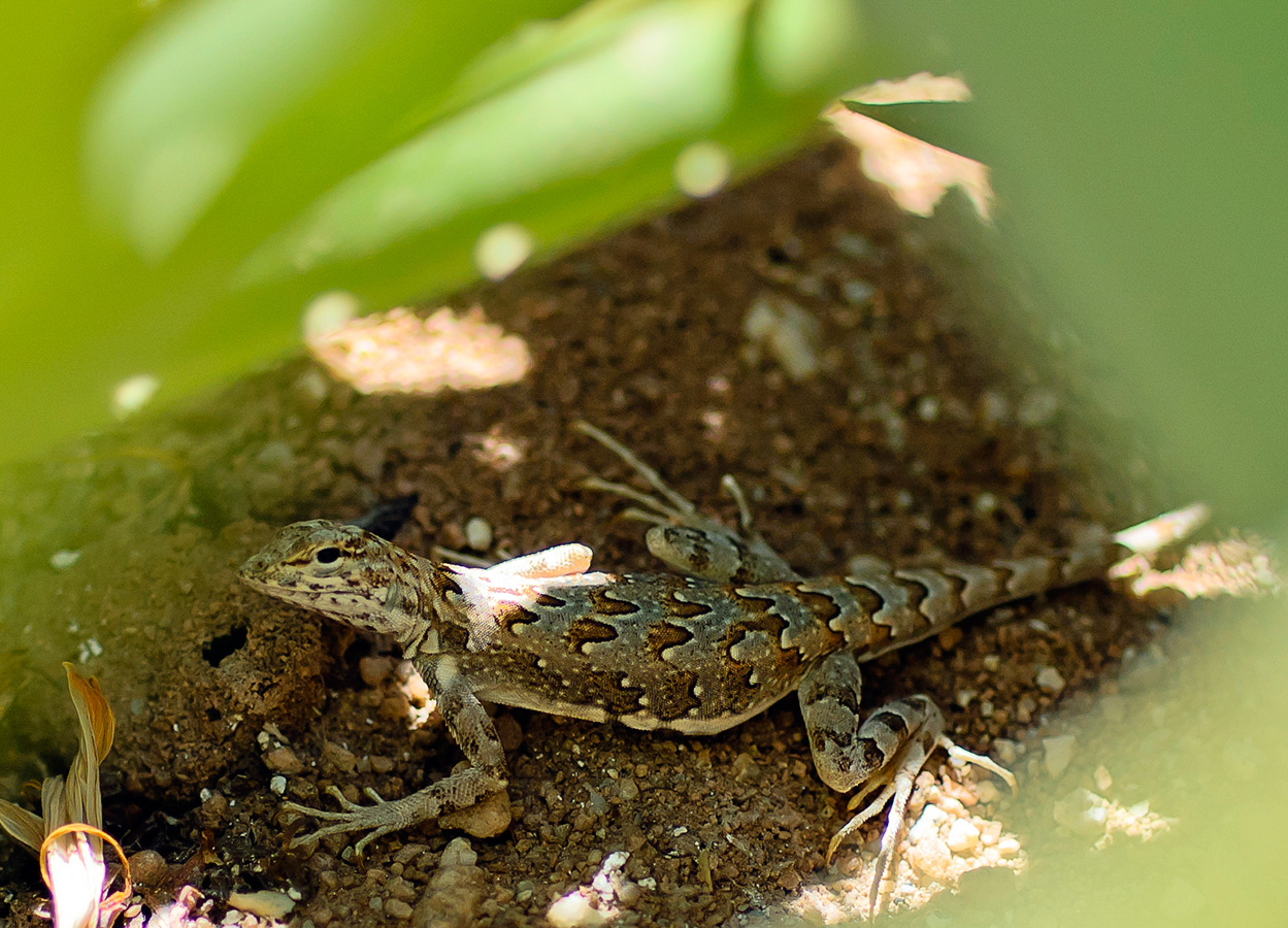 Camoflauged Lizard - Yoga Retreat - Mexico
