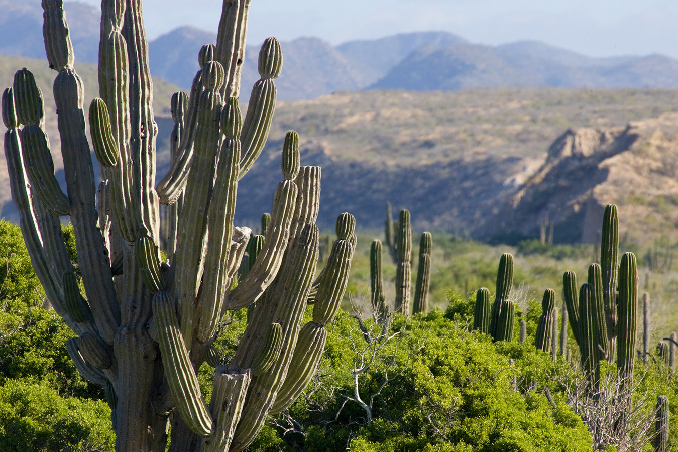 Cardon Cactus with Mountain Backdrop - Yoga Retreat - Mexico