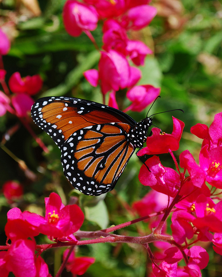 Monarch Butterfly - Yoga Retreat - Mexico