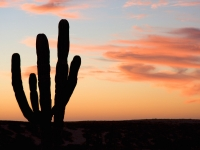 Cardon Cactus and the Pink Hues of Sunset- Yoga Retreat - Mexico