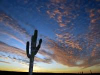 A Proud Cardon Cactus at Sunset- Yoga Retreat - Mexico