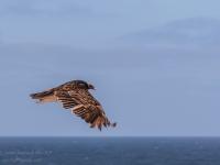 A Turkey Vulture Captured Mid-Flight - Yoga Retreat - Mexico