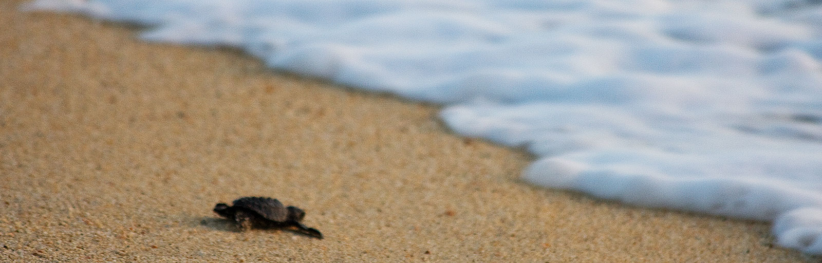 Sea Turtle Release & Mexico Yoga Retreat: A Baby Turtle Headed to the Ocean